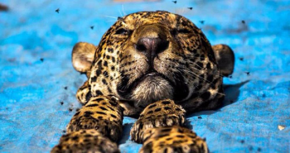 En el mundo hay alrededor de un millón de especies catalogadas en peligro de extinción, y México encabeza la lista.