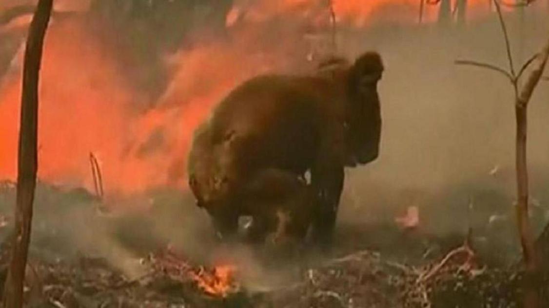 ANIMALES MUERTOS EN AUSTRALIA, EQUIVALENTES A UN SÉPTIMO DE LA POBLACIÓN HUMANA
